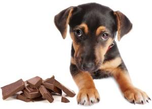 hond chocolade calculator
